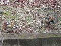 2017/2/21 宝ヶ池公園 地面で餌を採取するオシドリ